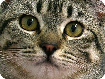 Domestic Shorthair Kitten for adoption in Republic, Washington - Happy VALENTINE'S SPECIAL! 50%