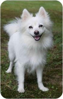 Westfield Ny Pomeranian Meet Ava A Pet For Adoption