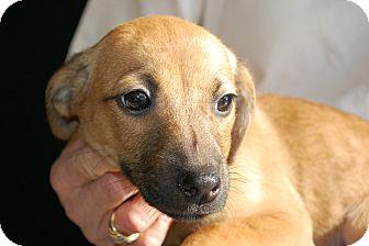 Lexington Ky Dachshund Meet Bob A Pet For Adoption