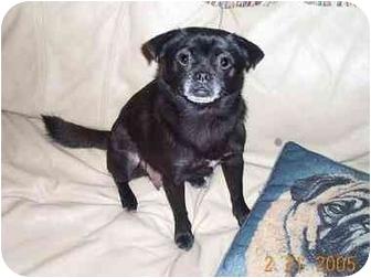 League city tx pug meet puggy sue a dog for adoption adopted altavistaventures Images