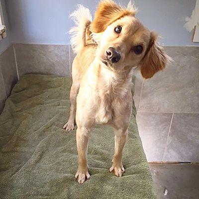 Eugene Or Cocker Spaniel Meet Faith A Pet For Adoption