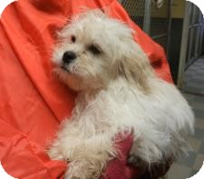 Antioch Il Bichon Frise Meet Christian Adopted A Pet For Adoption