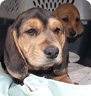 Marysville Oh Basset Hound Meet Fergus A Pet For Adoption