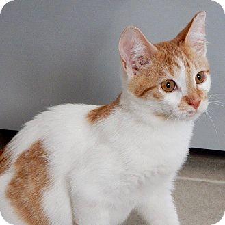 Domestic Shorthair Kitten for adoption in Long Beach, New York - Butters