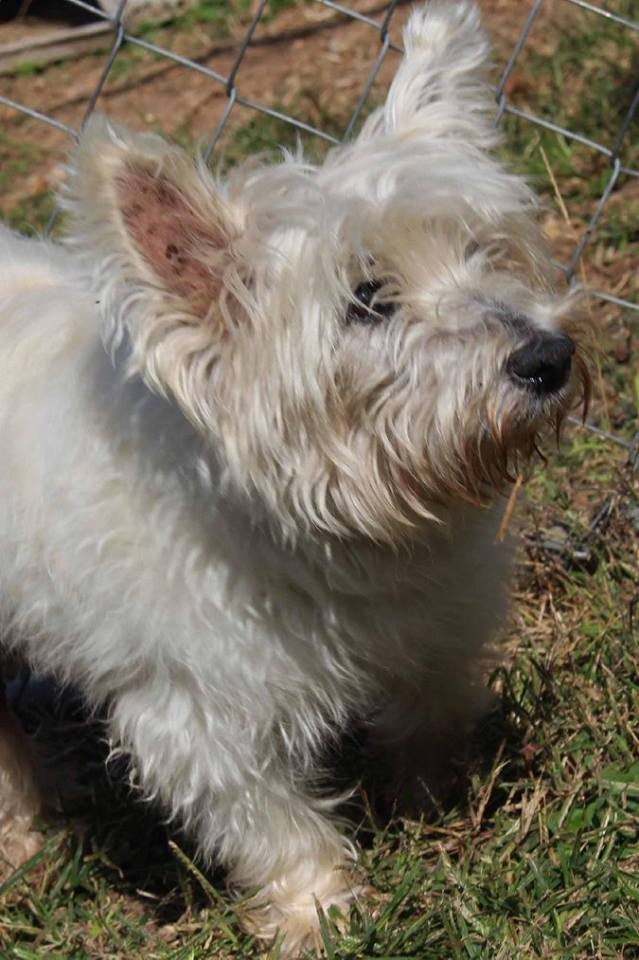 Joplin, MO - Westie, West Highland White Terrier  Meet Ms