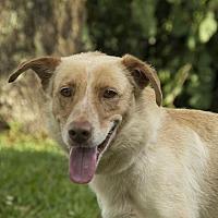 Australian Cattle Dog/Labrador Retriever Mix Dog for adoption in Houston, Texas - Peyton