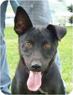 Labrador Retriever Mix Dog for adoption in Lexington, Missouri - Dixon