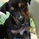 Adopt A Pet :: Cherub Chance