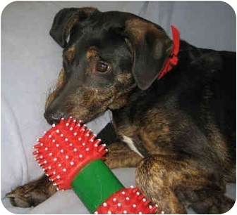Doberman Pinscher/Labrador Retriever Mix Dog for adoption in Overland Park, Kansas - Vinnie