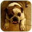 Photo 1 - English Bulldog Dog for adoption in Gilbert, Arizona - Buster*adoption pending*