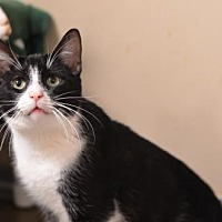 Adopt A Pet :: Azul 170825 - Atlanta, GA