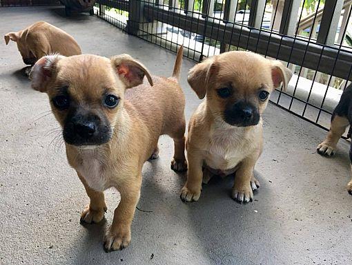 Pittsburgh Pa Chihuahua Meet Julies Puppies A Pet For Adoption
