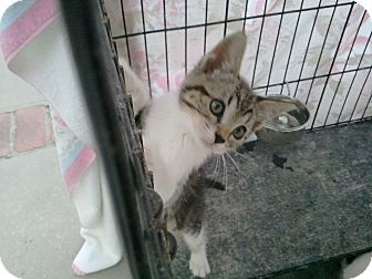 Domestic Shorthair Kitten for adoption in lake elsinore, California - Bobbie