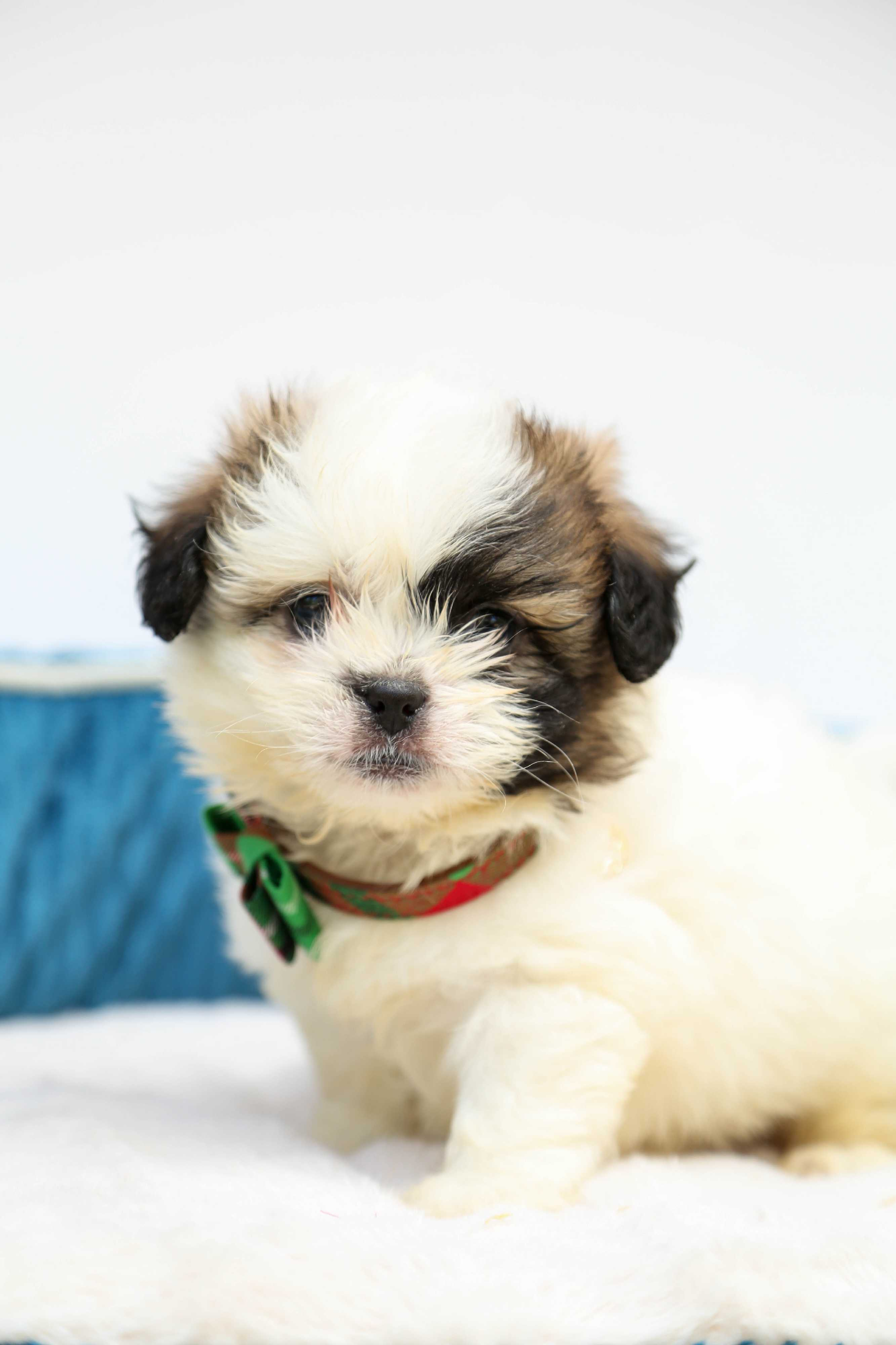 Unique Griffon Wirehaired Pointer Puppies Festooning - Electrical ...