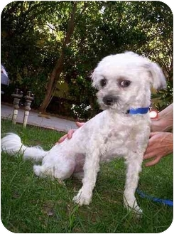 Lhasa Apso/Poodle (Miniature) Mix Dog for adoption in Van Nuys, California - Gus