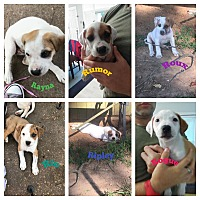 Adopt A Pet :: The Rocking R litter - HAGGERSTOWN, MD