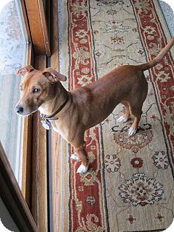 Miniature Pinscher/Jack Russell Terrier Mix Dog for adoption in Muskegon, Michigan - Luke