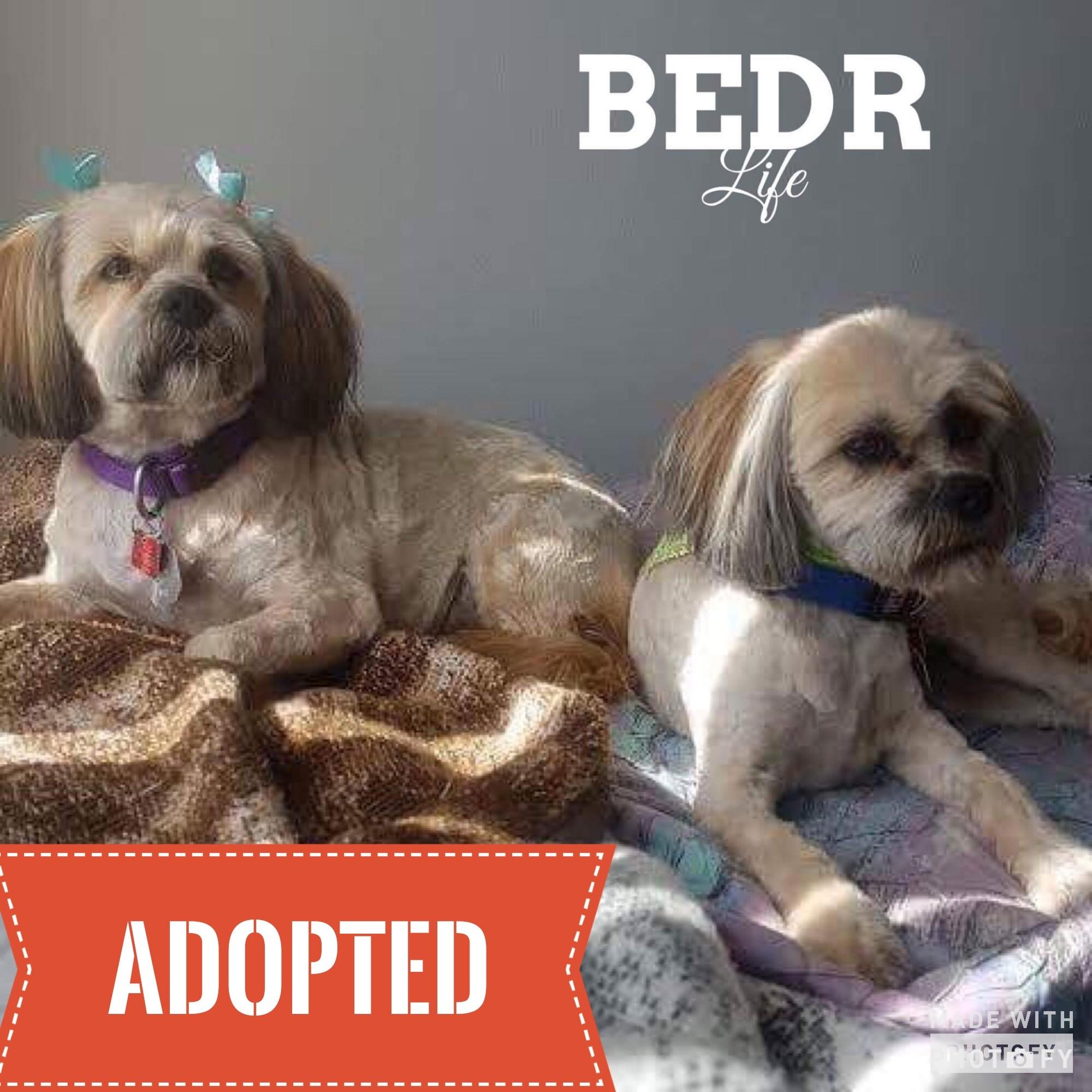 Regina, SK - Havanese  Meet Havan & Griffon a Pet for Adoption