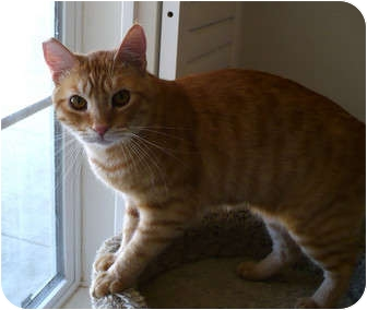 Domestic Shorthair Cat for adoption in Palmdale, California - Oddie