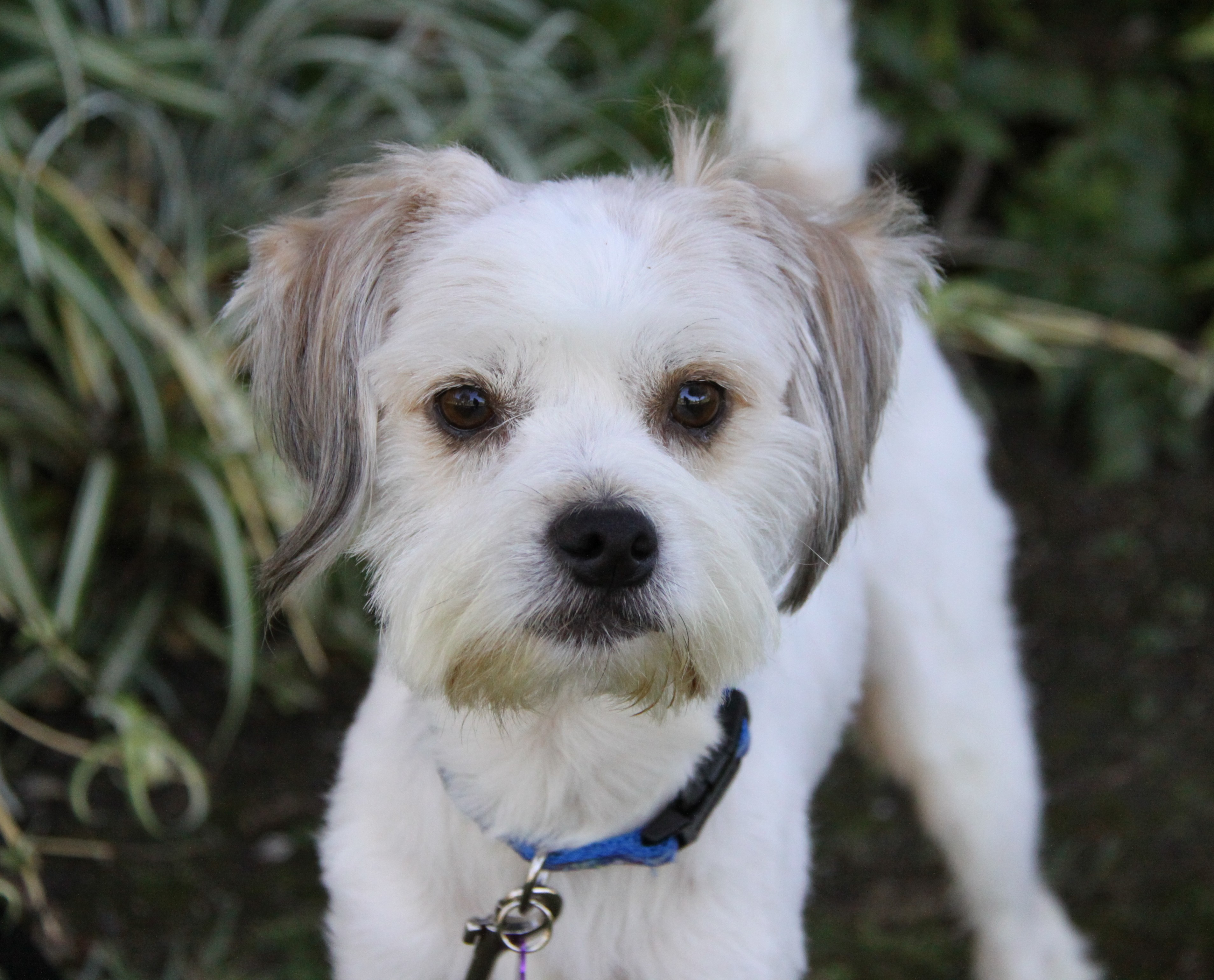 Newport Beach Ca Tibetan Terrier Meet Griffith A Pet For Adoption