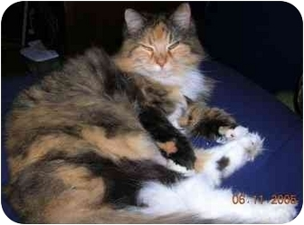 Domestic Longhair Cat for adoption in Cranston, Rhode Island - Kaya - URGENT!