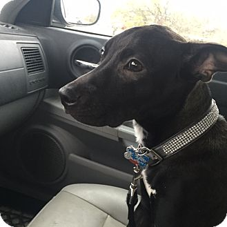 Labrador Retriever/Staffordshire Bull Terrier Mix Puppy for adoption in Plain City, Ohio - Pearl