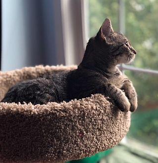 Adopt A Pet :: Mork  - Devon, PA