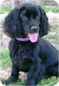 Sugarland, TX - Cocker Spaniel  Meet Rosco a Pet for Adoption