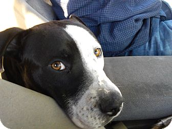philadelphia pa dalmatian meet justice a pet for adoption