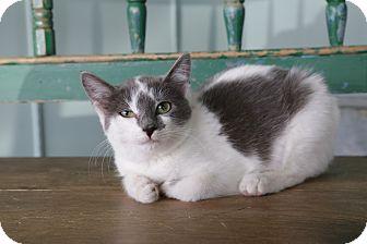 San Antonio Tx Domestic Shorthair Meet Kashi A Pet For
