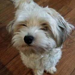Havanese Puppies for Sale in Oklahoma - Adoptapet com