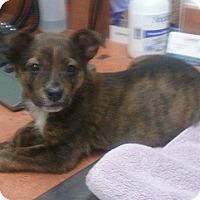 Adopt A Pet :: Spirit - Arlington, TX