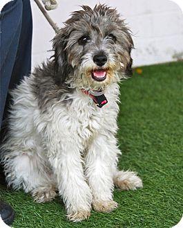 Marina del Rey, CA - Poodle (Miniature)  Meet Madison a Pet
