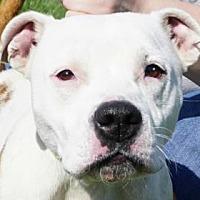 American Pit Bull Terrier Mix Dog for adoption in LaHarpe, Kansas - Aubrey