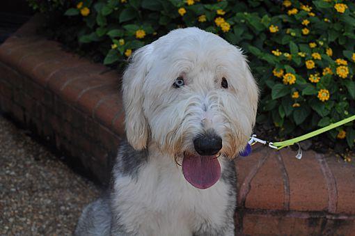 Atlanta, GA - Old English Sheepdog  Meet Dixie a Pet for