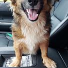Adopt A Pet :: Corkie