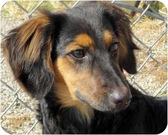 San Jose Ca Dachshund Meet Dexter A Pet For Adoption