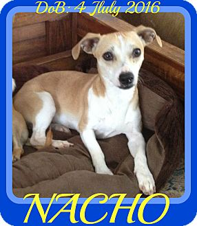 Rat Terrier/Chihuahua Mix Dog for adoption in Albany, New York - NACHO