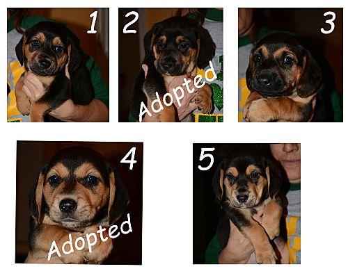 Hopkinsville Ky German Shepherd Dog Meet German Shepherd Puppies