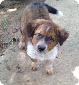 Pilot Point Tx Australian Shepherd Meet Jill A Pet For Adoption