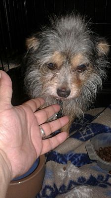 Palm Bay Fl Yorkie Yorkshire Terrier Meet Buddy A Pet For Adoption