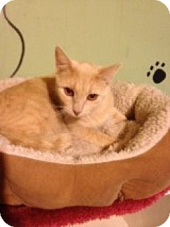 Domestic Shorthair Cat for adoption in Bridgeton, Missouri - Buffy