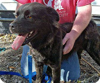 Border Collie/Boxer Mix Dog for adoption in Anderson, Indiana - Holly