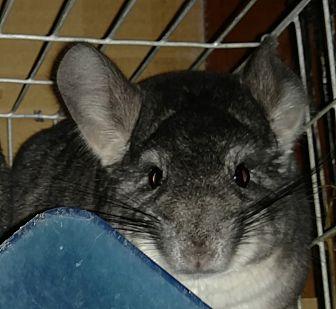 Chinchilla for adoption in Granby, Connecticut - Blacky - NY