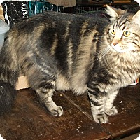 Plano, TX - Maine Coon. Meet VADER - 18 LBS OF LOVE!!! a Cat for Adoption.