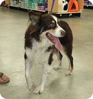 Australian Shepherd Dog for adoption in Wilmington, North Carolina - AUDREY