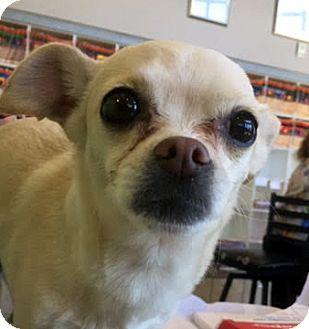 Chihuahua Mix Dog for adoption in Las Vegas, Nevada - Chloe
