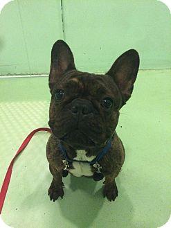 New York, NY - French Bulldog. Meet Joaquin a Pet for ...