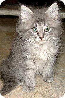 Maine coon kittens nashville tn