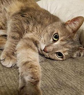 Adopt A Pet :: KT-Sophia Loren  - Devon, PA